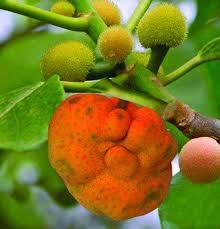 dewa fruit