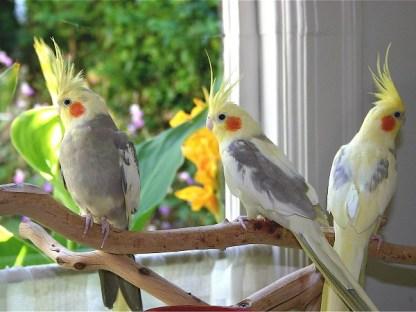 cockatiels birds