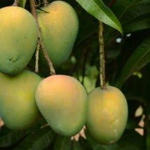 khirsapati mango