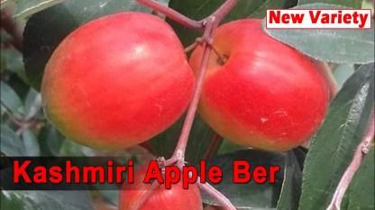 Kashmir Apple Kul
