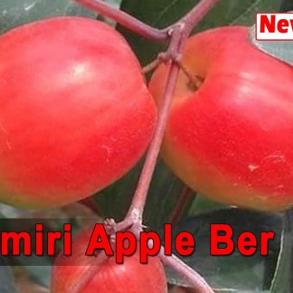Kashmir Apple Kul