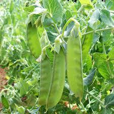 Beans Seeds