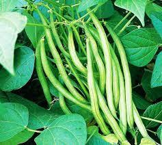 Borboti Seeds