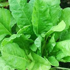 Palong Shak Seeds