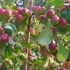 Seedless Apple Kul
