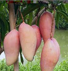 red ivory mango