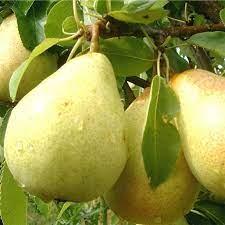 nag fruit