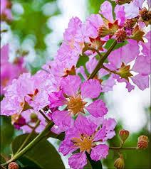 Jarul flower Plant