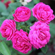 Hazari Rose Indian