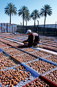 In tray after tray, medjool dates are turned by hand to ripen evenly.
