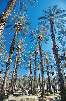 In a grove of mature deglet noor palms more than 25 meters (80') tall, palmeros such as Carlos Rodrigues make more than a dozen climbs annually per tree to pollinate, protect, prune and harvest in stages.