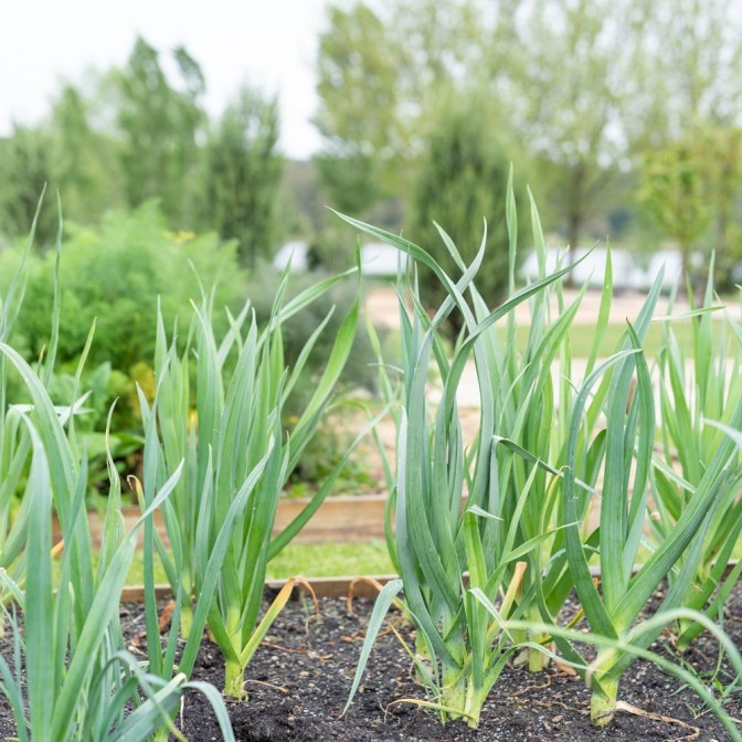 Whats growing in the Kitchen garden at Sault