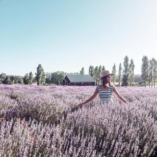 Our beautiful lavender fields in full bloom