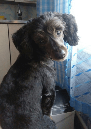 Dachshund Poodle Mix Doxiepoo Breed Information