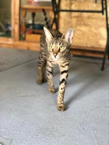 Können Savannah-Katzen Türen öffnen