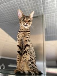 Savannah Katze F2