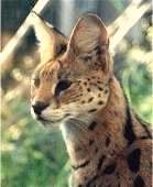 Der Serval Leptailurus