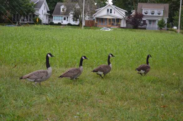 Geese follow one another in overgrown city-owned property where homes and trees once stood in the Czech Village neighborhood. (photo/Cindy Hadish)