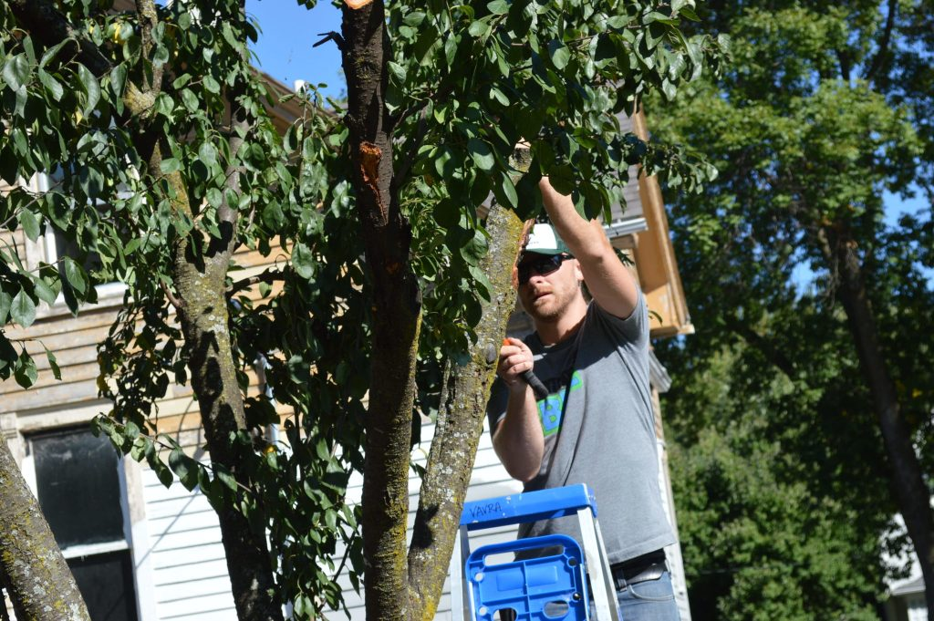 Dustin Hinrichs of Trees Forever prunes the plum tree on the Frankie House lot in Cedar Rapids, Iowa. (photo/Cindy Hadish)