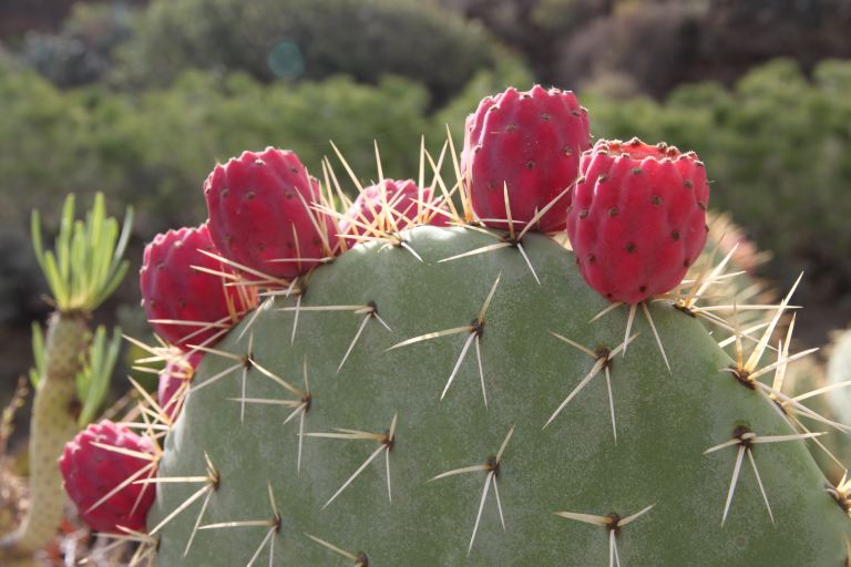 Cactus Comestibles Save Eat