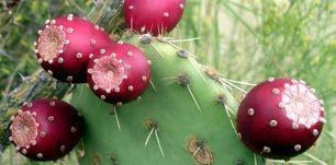 Manger du cactus, le figuier de barbarie saveeat