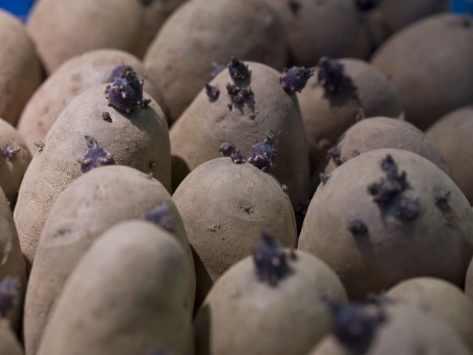 Peut on manger les pommes de terre germées