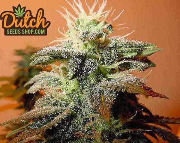 Dutch Seeds Shop - Bubblegum Strain - Cannabis Seeds Coupon Codes - Save On Cannabis
