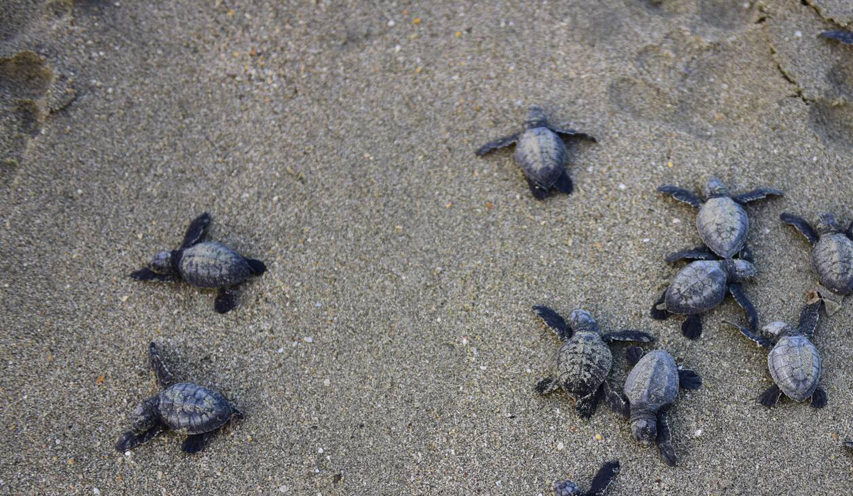 29 baby sea turtles got a second chance at life on the morning of 22nd December 2015 when they were released in the bay of the Bengal off the west beach of Saint Martin's Island. Earlier volunteers rescued them from a nest under attack by a pack of 9 dogs. Photo: Sumon Kormokar/ Save Our Sea