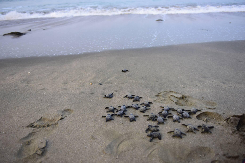 Olive ridley sea turtle hatchlings make their way to the sea after being rescued and taken care of by Save Our Sea volunteers during nest monitoring activities in Saint Martin's Island. Photo: Save Our Sea/ Sumon Kormokar