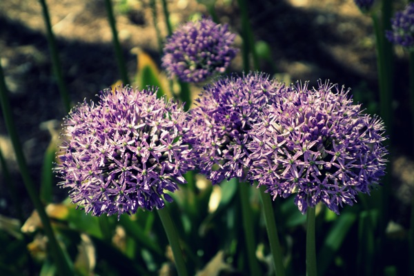 Photograph-Lavender-Puff-Flower-Nature-Zen-Beauty