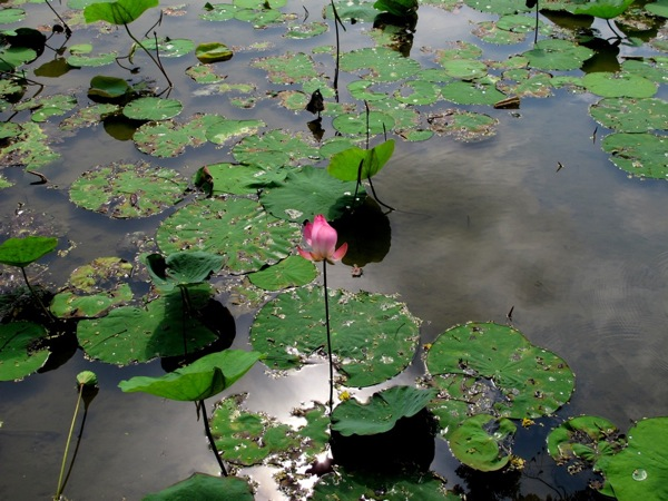 Photograph-Travel-Asia-Flower-Zen-Life-Pond-Lotus-Glistening-on-the-Water