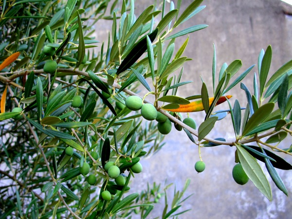 Photograph_Extending-the-Olive-Branch-Garden-Grow-Portugal-Food-Plant