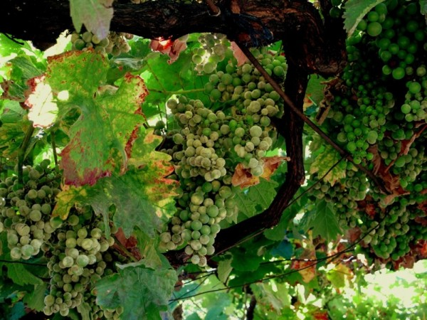 Portugal-Grapes-Hanging-Wine-Vine-Travel-Photograph-Fruit-Eat-Food