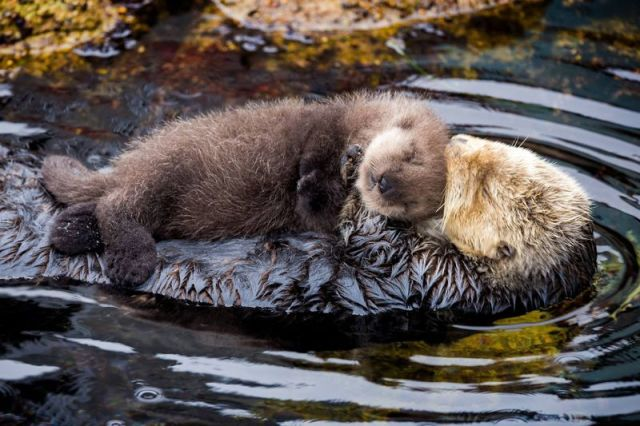 mommy-and-baby-parenting-otter-wild-zoo