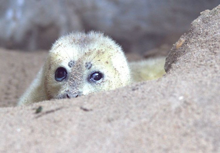 http://www.zooborns.com/zooborns/2016/02/ringed-seal-is-a-rare-zoo-birth.html