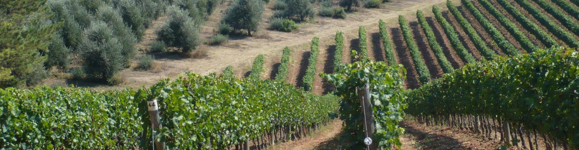 Vineyard of Marche