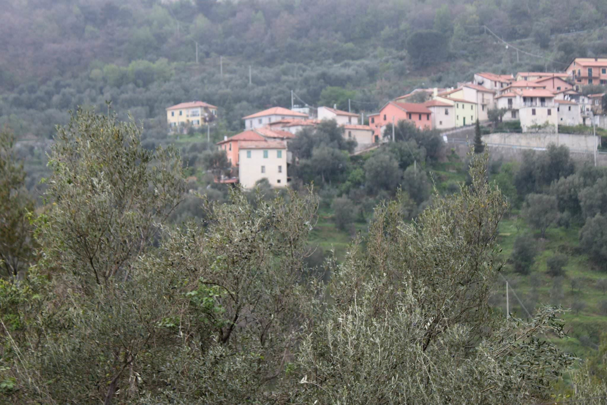 Village of Liguria and olive trees of Taggiasche olives