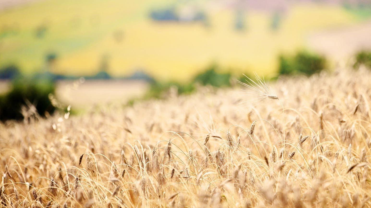 Campo di grano duro