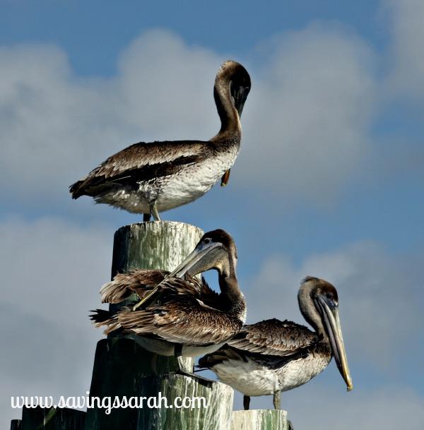 3 Pelicans on a Perch