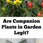 Are Companion Plants In Garden Legit?