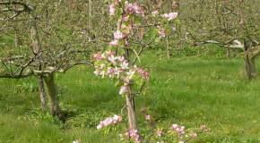 Kako pravilno saditi voćke