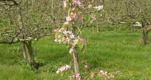 sadnja voćki
