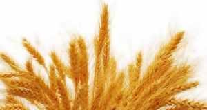 pšenica na slici