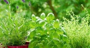 Ljekovito bilje u teglama