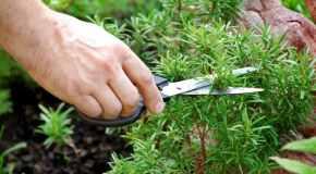 Kako uzgojiti začinsko bilje