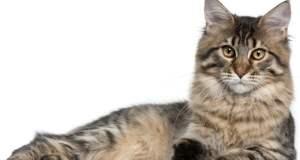 Mačka kao kućni ljubimac