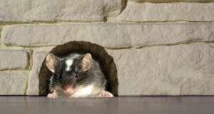 Mišja groznica – simptomi i liječenje