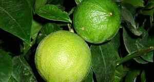 Ulje bergamota