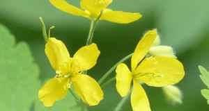 rosopas-biljka