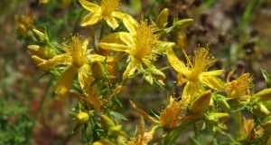 cvjetovi kantariona